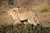 Cheetah_Family_Phinda_2016_0054