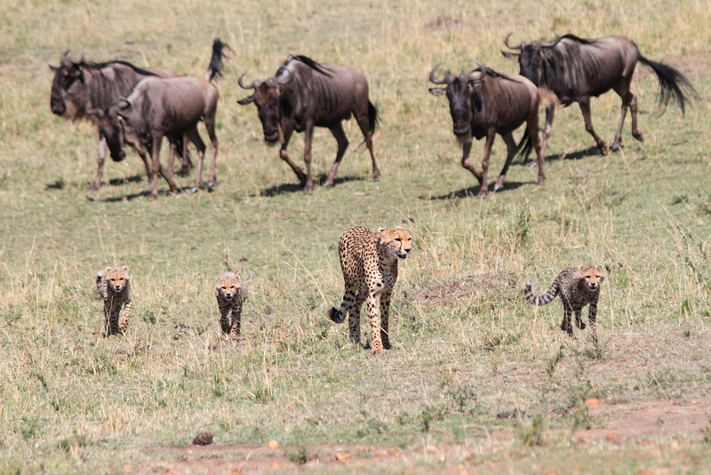 Cheetah Cubs with Wildebeest Mara Topi House.  Moe, Larry and Shirley with mom.