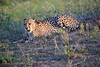 Cheetah_Adventure_Phinda_2016_0123
