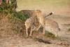 Cheetah_Cubs_Mara_Kenya_Asilia_20150171