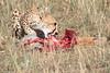 Cheetah Cubs Feeding Mara Topi House