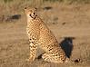 Cheetah Ndutu Tanzania