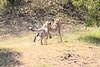 Cheetah_Cubs_Mara_Kenya_Asilia_20150053