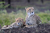 Cheetah_Family_Phinda_2016_0105