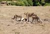 Cheetah_Feast_Mara_Kenya_Asilia_20150211