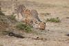 Cheetah_Cubs_Mara_Kenya_Asilia_20150145