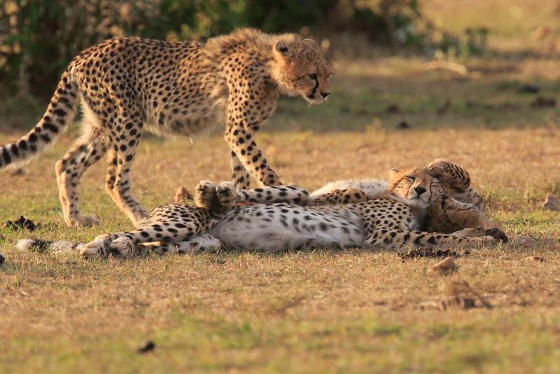 Cheetah_Cubs_Mara_Kenya_Asilia_20150186