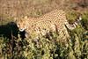Cheetah_Family_Phinda_2016_0064