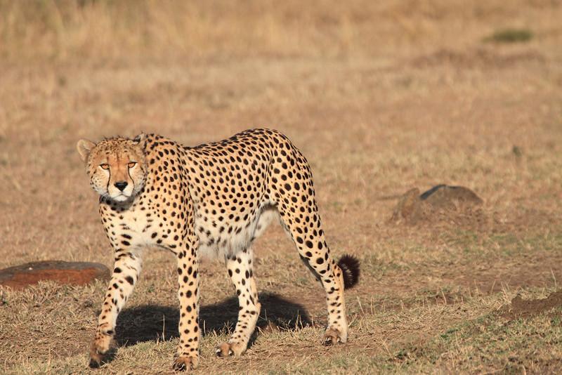 Cheetah Male Mara Topi House