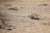 Cheetah_Cubs_Mara_Kenya_Asilia_20150131