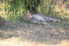 Cheetah_Cubs_Mara_Kenya_Asilia_20150023
