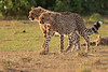 Cheetah_Cubs_Mara_Kenya_Asilia_20150243
