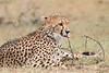 Cheetah_Mara_Asilia_Kenya0053
