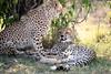 Cheetah_Cubs_Mara_Kenya_Asilia_20150067
