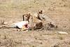 Cheetah_Feast_Mara_Kenya_Asilia_20150099