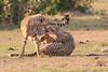 Cheetah_Cubs_Mara_Kenya_Asilia_20150229