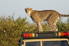 Cheetah_Family_Vehicle_Mara_Kenya_Asilia_20150019
