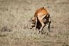 Cheetah_Feast_Mara_Kenya_Asilia_20150142
