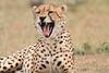 Cheetah_Mara_Asilia_Kenya0041