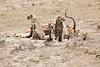 Cheetah_Feast_Mara_Kenya_Asilia_20150021