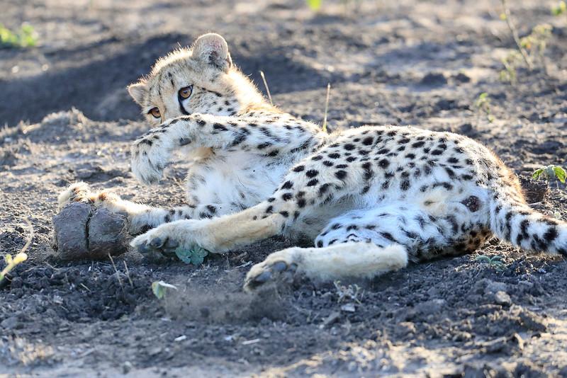Young_Cheetah_Playing_With_Ball_Phinda_2016_0049