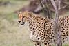 Cheetah_Mara_Asilia_Kenya0005