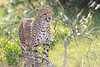 Cheetah_Mara_Asilia_Kenya0069