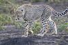 Cheetah_Family_Phinda_2016_0123
