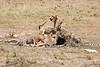 Cheetah_Feast_Mara_Kenya_Asilia_20150101