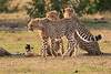 Cheetah_Cubs_Mara_Kenya_Asilia_20150240