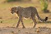 Cheetah_Cubs_Mara_Kenya_Asilia_20150248