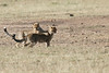 Cheetah_Cub_Playing_Mom_Mara_Kenya_Asilia_20150017