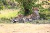 Cheetah_Cubs_Mara_Kenya_Asilia_20150026