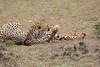 Cheetah_Mara_Asilia_Kenya0029