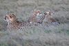 Cheetah_Family_Phinda_2016_0091