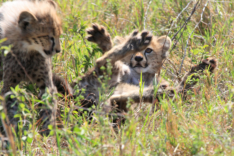 Cheetah Cubs Family Phinda South Africa