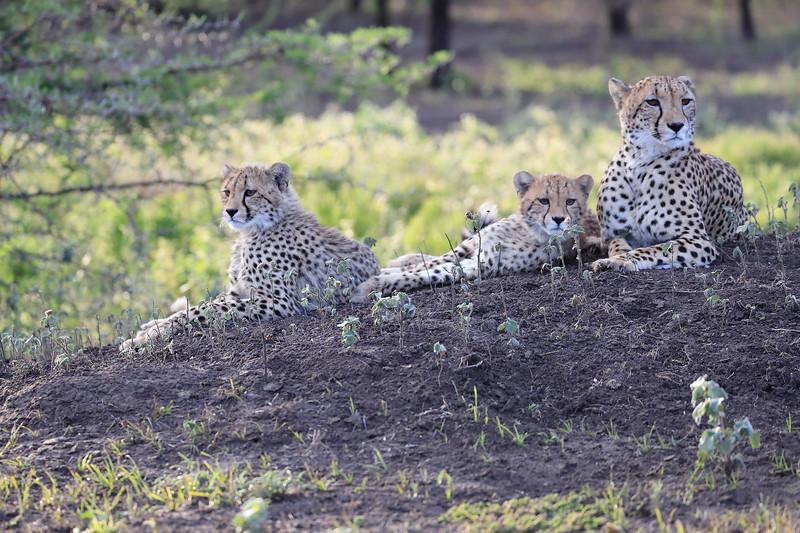 Cheetah_Family_Phinda_2016_0108