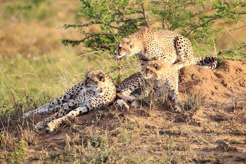 Cheetah_Adventure_Phinda_2016_0005