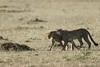 Cheetah_Cubs_Mara_Kenya_Asilia_20150263