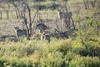 Cheetah_Family_Phinda_2016_0035