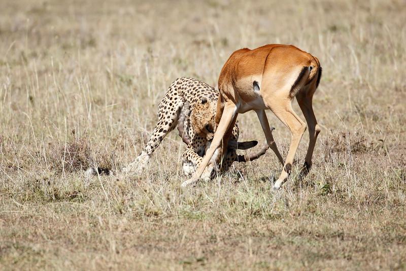 Cheetah_Feast_Mara_Kenya_Asilia_20150138
