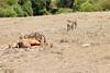 Cheetah_Feast_Mara_Kenya_Asilia_20150042