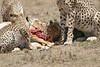 Cheetah_Feast_Mara_Kenya_Asilia_20150258