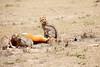 Cheetah_Feast_Mara_Kenya_Asilia_20150041