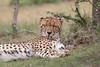 Cheetah_Mara_Asilia_Kenya0036
