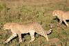 Cheetah_Family_Phinda_2016_0068