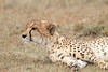 Cheetah_Mara_Asilia_Kenya0062