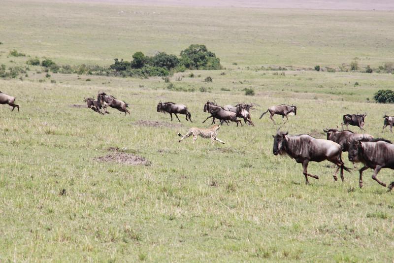 Cheetah Rekero Mara