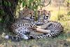 Cheetah_Cubs_Mara_Kenya_Asilia_20150098