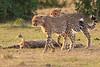 Cheetah_Cubs_Mara_Kenya_Asilia_20150242